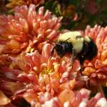 """""""The Bumble Bee"""" by jddean"""
