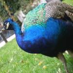 """""""Henry Doorly Zoo Peacock"""" by jddean"""