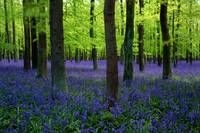 Dockey Wood Bluebells Chilterns UK