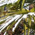 """Fan Palm with Snow"" by StephyD"