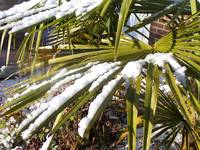 Fan Palm with Snow