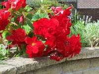 Bright Red Begonias