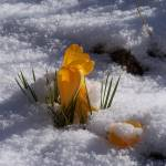 """Crocuses in Snow"" by StephyD"