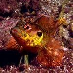 """Throatspotted Blenny"" by manfish"