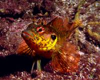 Throatspotted Blenny