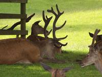 Deer at Blair Castle