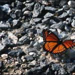 """Monarch"" by crystalliora"