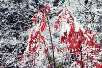 Red Tree in Snow
