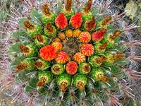 Barrel Cactus Flower