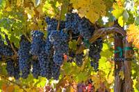 Grape Clusters & Vine
