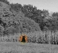 Black Bear in the Corn