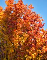 Liquidambar Tree in Fall