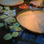 """New Zealand Lily Pad"" by overbeck"