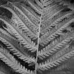 """Black and White Fern"" by overbeck"