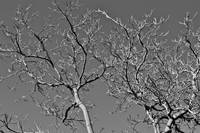 Black and White Winter Trees