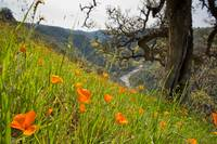 Poppies and American River III