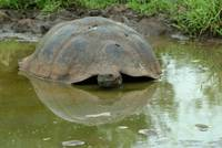 Galapagos Tortoise Reflection