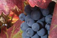 Closeup of Zinfandel Grapes, Coloma