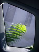 Ailanthus from civic window.