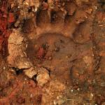 """Pawprint of a Black Bear"" by Persuaded"