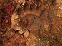Pawprint of a Black Bear