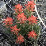 """Indian Paintbrush"" by Persuaded"