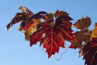 Fall Wine Leaves