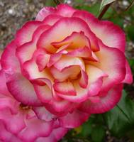 Frilly pink roses
