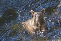 Fishing Brown Bear I at Anan Creek, Alaska