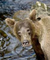 Brown Bear Fishing III at Anan Creek, Alaska