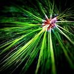 """Pine Needles"" by johnburnett"