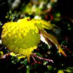 """Yellow Leaf"" by johnburnett"