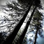 """Tall Trees"" by johnburnett"