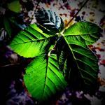 """""""Leaves in Contrast"""" by johnburnett"""
