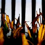 """Fence & Yellow Leaves"" by johnburnett"