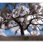 """""""Oak Tree reaching out"""" by imagepeace"""