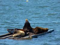 Sea-lions-sharing-a-raft