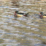 """Wood ducks"" by Roberth"