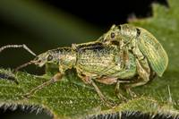 Weevils mating