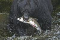 Fishing Black Bear at Anan Creek