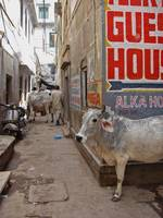 Cows in the Alley