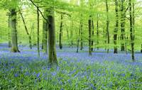 LS468M Bluebells in the  Forest of Dean, England
