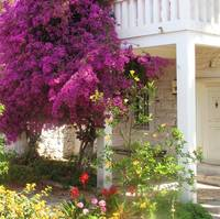 Bougainvillea growing outside a house, Mykonos
