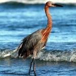 """""""Reddish Egret"""" by SavingFLorida"""