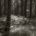 """""""pinewood with shaft of light"""" by apprentice50"""