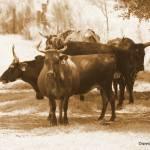 """Cracker Cattle"" by SavingFLorida"