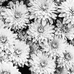 """Garden Mums"" by photographybyryankelly"