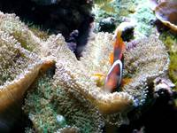 My Underwater Home (Clown Fish)