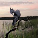 """Little Blue Heron"" by spadecaller"