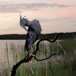 """Little Blue Heron"" by spadecaller"